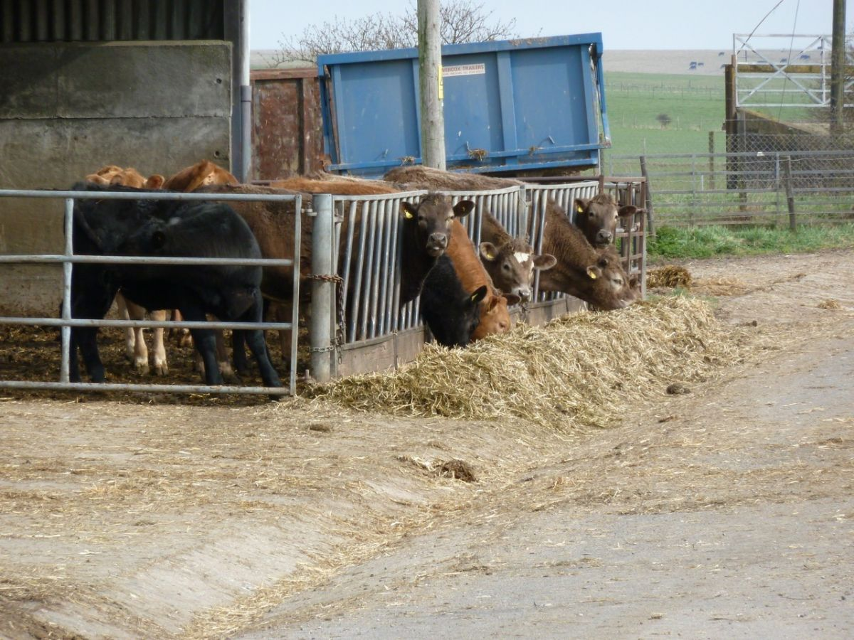Ablington Farm Cattle